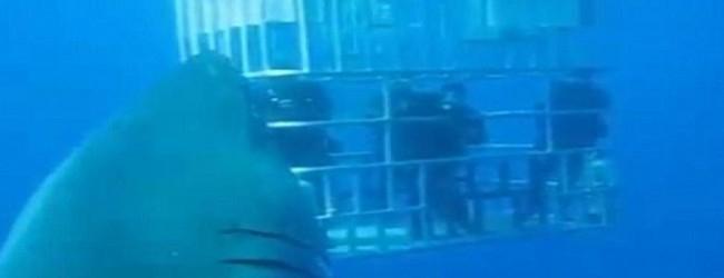 Λευκός καρχαρίας μεγαλύτερος και από τη… φαντασία του Σπίλμπεργκ! (video)