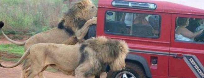 Τρόμος σε σαφάρι: Λιοντάρια επιτίθενται σε τουρίστες (video)