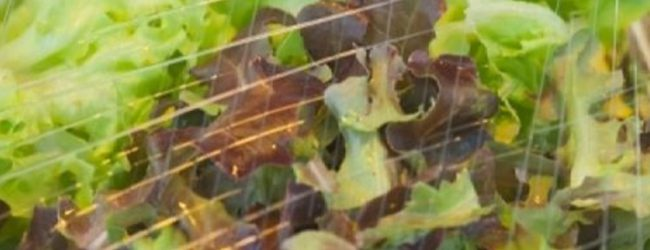 Προσοχή! Οι έτοιμες συσκευασμένες σαλάτες επικίνδυνες για σαλμονέλα