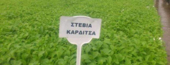 Στην Καρδίτσα το πρώτο εργοστάσια για στέβια στην Ευρώπη! (photos)
