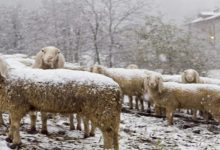 Οι Θεσσαλοί κτηνοτρόφοι ζητούν αποζημίωση