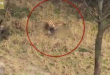 Βίντεο σοκ! Τον κατασπάραξε τίγρης μπροστά στη γυναίκα και το παιδί του