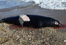 Σάμος: Δολοφόνησαν φώκια με κυνηγετικό όπλο (photos)