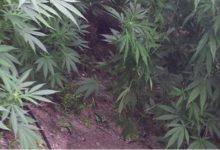 Ελικόπτερο της ΕΛΑΣ εντόπισε φυτεία με δενδρύλλια κάνναβης στο Ρέθυμνο [βίντεο]