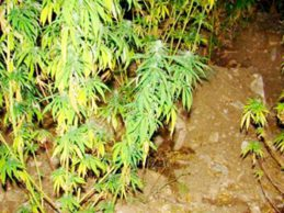 Καλλιεργούσε δενδρύλλια κάνναβης σε γλάστρες