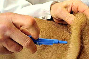 Βόλος: Επεσαν τα πρώτα πρόστιμα σε μη τσιπαρισμένα σκυλιά