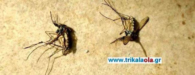 Επιθετικά μεγάλα κουνούπια εμφανίστηκαν στα Τρίκαλα και τσιμπάνε με μανία! [βίντεο & εικόνες]