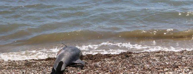 Νεκρό δελφίνι στην Αγριά