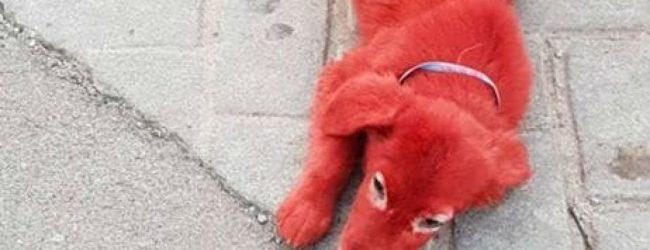 Αδιανόητο! Στην Χαλκίδα έβαψαν σκυλάκι με κόκκινη βαφή μαλλιών και το εγκατέλειψαν στους δρόμους