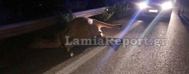 Λαμία: Αυτοκίνητο τράκαρε με αδέσποτη αγελάδα