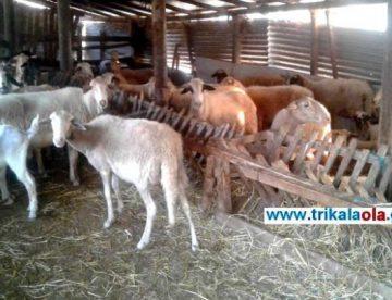 Ζωοκλέφτες άρπαξαν 40 πρόβατα και ξυλοκόπησαν τα σκυλιά στην Καρδίτσα